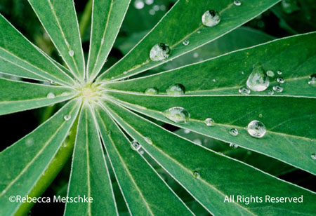 Raindrops on lupine leaves